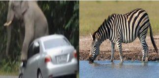 zebri