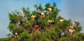 Накацалите по дърветата кози похапват сладко прлодовете на аргановото дърво.