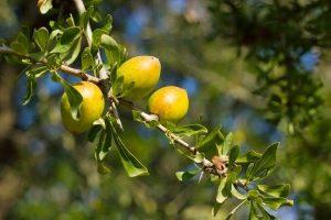 Ето така изглеждат плодовеаргановото дърво, което накацалите кози ядат.
