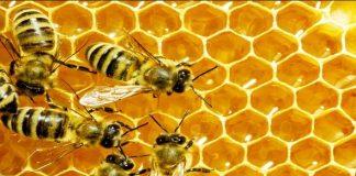 пчелите