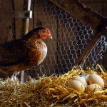кокошката