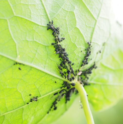 листните въшки