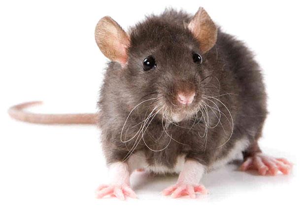 мишките