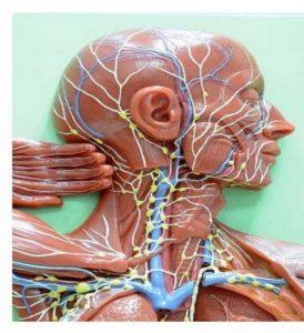 лимфната система