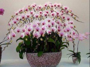 орхидеите