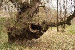 бременно дърво