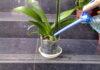орхидеята